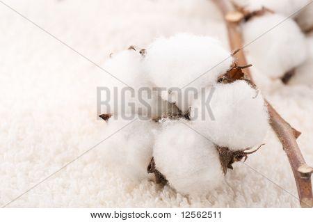 Baumwollpflanze auf einem weichen Handtuch