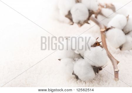 Cotton plant on a fluffy towel
