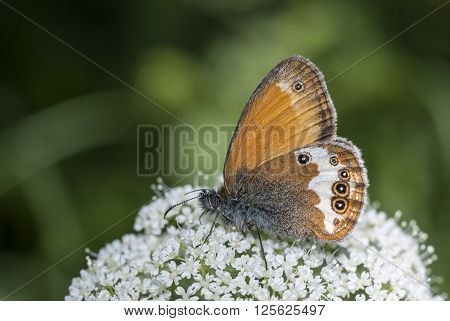 Pearly Heath (Coenonympha arcania) butterfly drinking nectar.