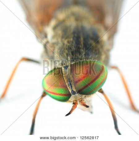 Very Detailed Macro Portrait of Fly