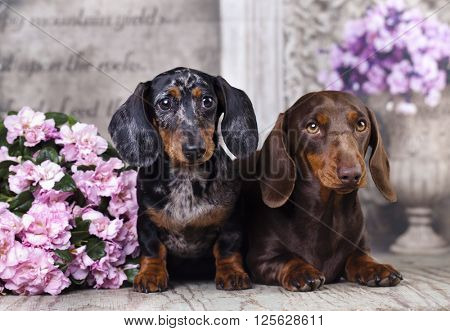 tvo dachshund and pink flower