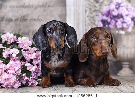 tvo dachshund and pink flower