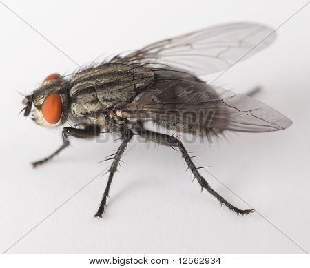 Very detailed shot of House Fly