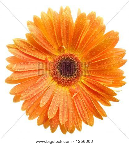 Orange Daisy Petails