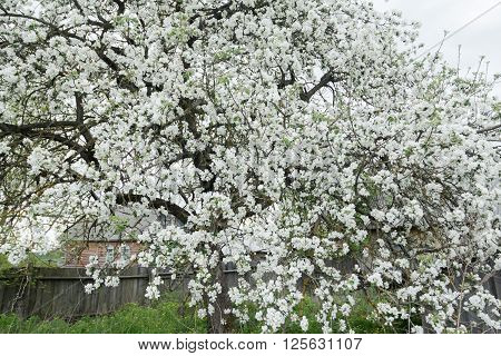 Flowering apple tree in spring garden is covering with snowy white flowers at old wood farm log house background