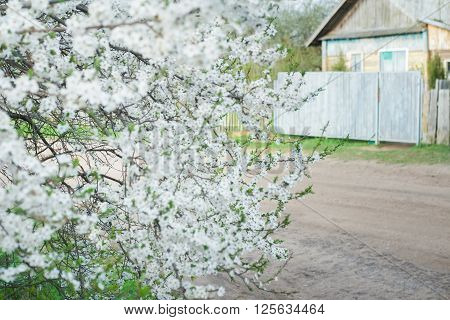 Flowering cherry plum tree in spring garden is covering with snowy white flowers at old wood farm log house background