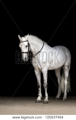 White horse portrait in dressage bridle isolated on black background
