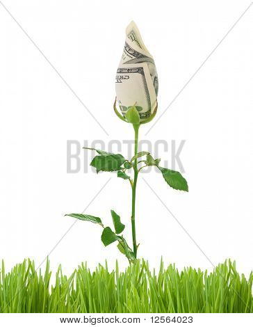 Growing Money Rose.Business Concept image