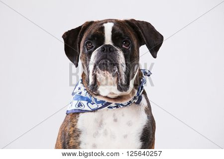 Charming boxer dog