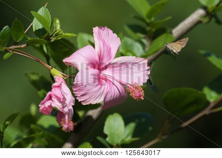 A brown skipper butterfly flying to a pink Hibiscus flower in bloom
