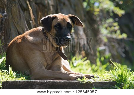 Malawian mixed breed dog resting on a step