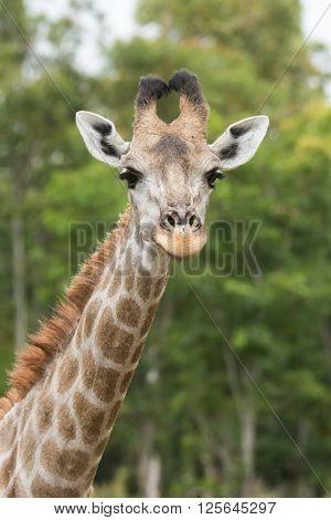 Portrait Of A Giraffe (giraffa Camelopardalis) Showing Head And Neck