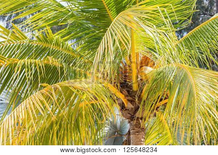 Close up of a palm tree with vibrant green and yellow colors and one yellow coconut on Langkawi island in Malaysia