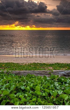Sunset with log wood on the beach wiht beach morning glory at Naiyang beach Phuket Thailand