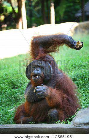 The orangutan close-up eats a mango. Bali