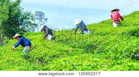 Lam Dong, Vietnam - 3rd March, 2016: Farmer picking tea with nimble hands picking fresh tea buds into pockets harvested in the morning on the Cau Dat tea plantations in Lam Dong, Vietnam