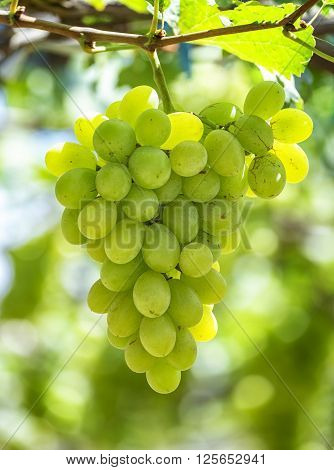 Green ripe grapes in garden with clusters associated plump sleek, this material used to make white wine business in Ninh Thuan, Vietnam