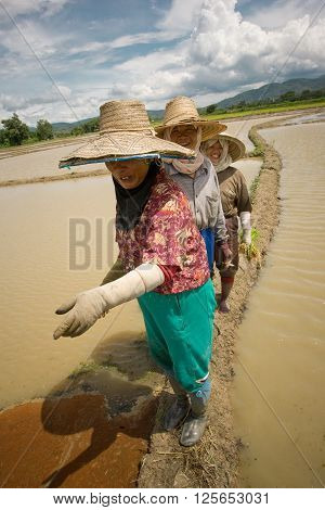 CHIANG MAI PROVINCE, THAILAND- CIRCA JULY, 2005 :  2005, In the province of Chiang Mai north Thailand. During the monsoon in july Women are planting rice in the paddy fields