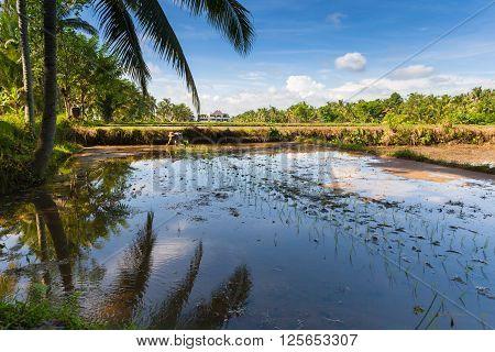 UBUD, INDONESIA - FEBRUARY 28: Farmer is planting rice on the rice fields in Ubud Bali Indonesia on February 28 2016.