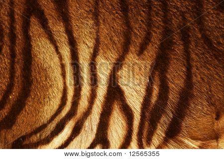 Textura tigre