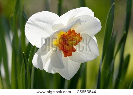 closeup of a beautiful backlighted white daffodil