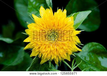 a wet yellow dwarf sunflower close up from the top with green leaves below