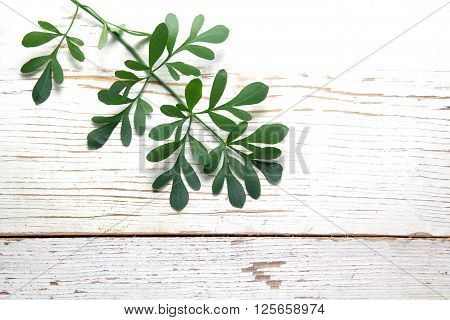 Rue herb plant. Lithuanian traditional plant, a symbol of virginity