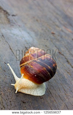snail with a white body moves along an old black wooden plank after rain. close-up selective focus shallow depth of field