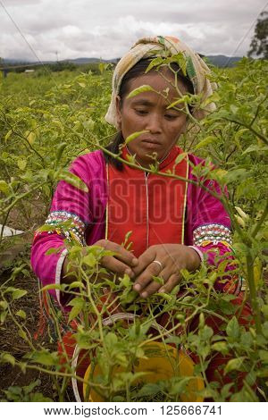 CHIANG DAO,  CHIANG MAI province , THAILAND - CIRCA JULY, 2005 :  july 2005 In the north of Thailand. A woman from the Palong ethnic group harvesting chili peppers in the fields.