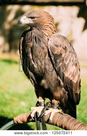 Sitting Golden Eagle Haliaeetus albicilla. Wild bird