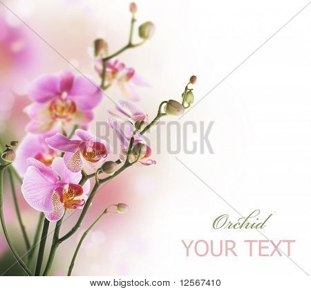 Orchid Border