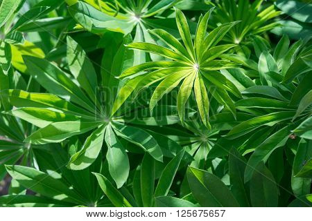 Lupinus Leaves And Water Drops