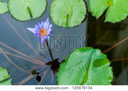 A purple water lilly blooming at the pond with a reflected of building's shadow
