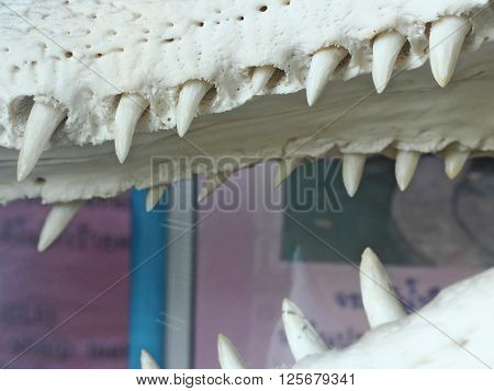 open mouth and teeth of the crocodile at zoo