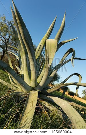 Close-up Of A Large Agave Plant in Texas