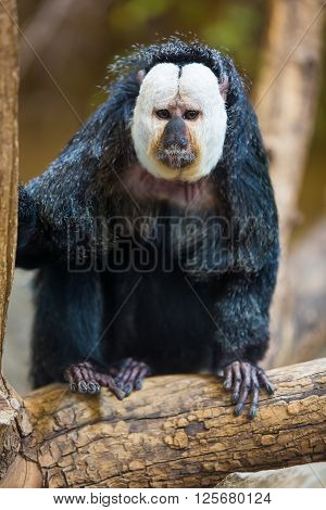 Close-up Of A White Faced Saki Monkey