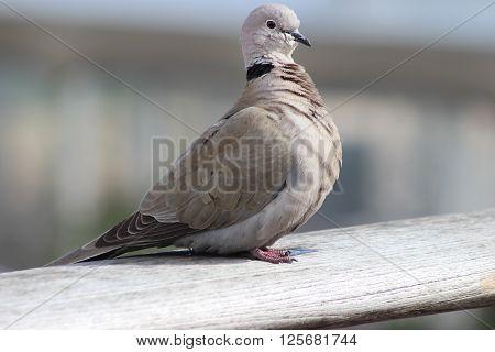 Beautiful Cape Turtle Dove (Streptopelia capicola) Close-up