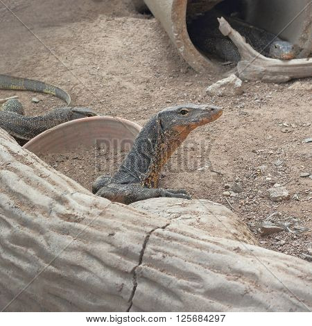 varan or varanus salvator in the nest at thailand