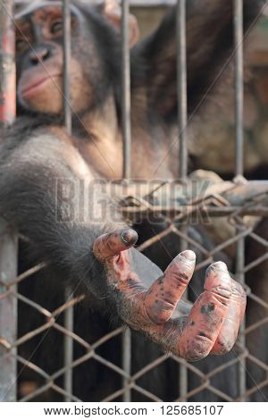 Hand of a chimpanzee of animal life