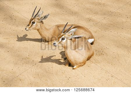 Two beautiful gazelles lying on the sand