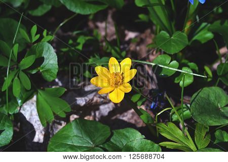 Lesser celandine yellow flower in the forest