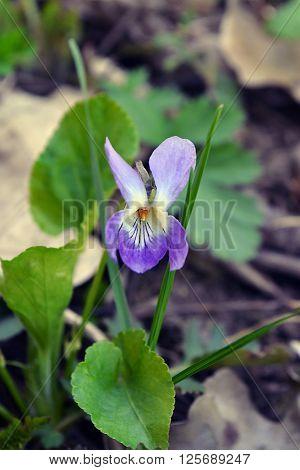Viola odorata (Sweet Violet English Violet Common Violet or Garden Violet) blooming in spring close-up. Nature background