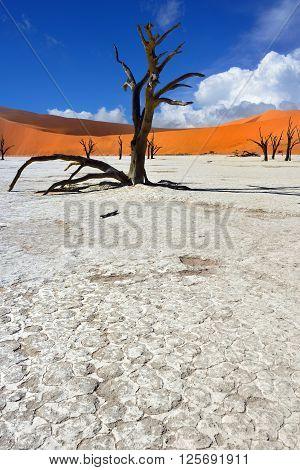 Dead Camelthorn Trees against blue sky in Deadvlei Sossusvlei. Namib-Naukluft National Park Namibia Africa.