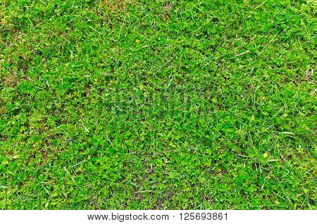 Green fresh mown grass close up background.