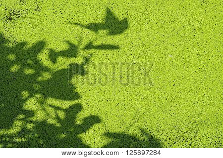 Texture of light and shadow. Sun shining through a radiating duckweed. Art Natural background texture