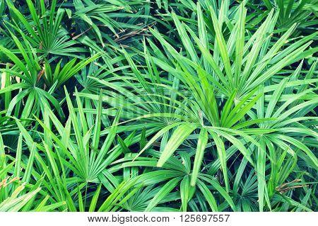 Palm Tree (livistona Rotundifolia)