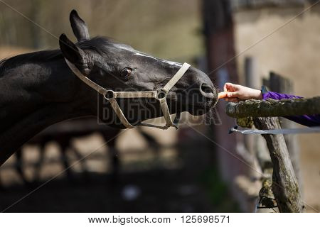 The horse sniffs the hand holding a carrot