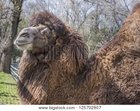Bactrian camels at the spring farm . April 2016