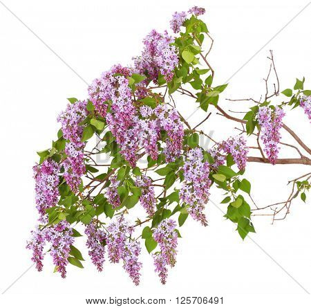 lilac branch on a white background