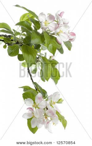 Spring Apple Blossom over white